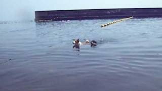 Swimming Race ? dachshund Vs Basenji