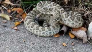 Rattlesnake Caught In My Front Yard!