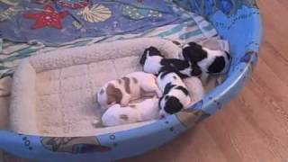Adorable!  English Cocker Spaniel Puppies @ 3 Weeks Old