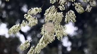 Cành hoa trắng - Lê Hiếu