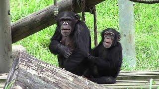 姉のミカンと弟のフブキです (多摩動物公園にて。2017年9月撮影) ブロ...