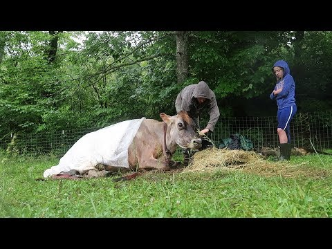 The Day Our Family Milk Cow Died