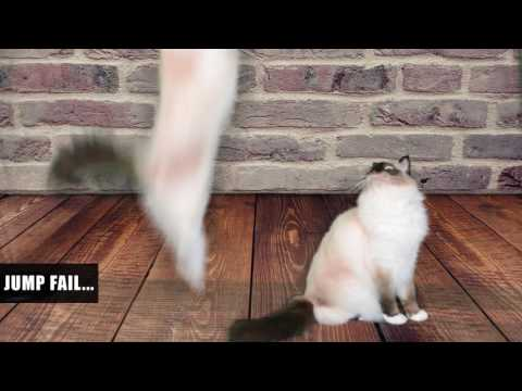 Cat Jump Fail - Birman Cat-asrophe