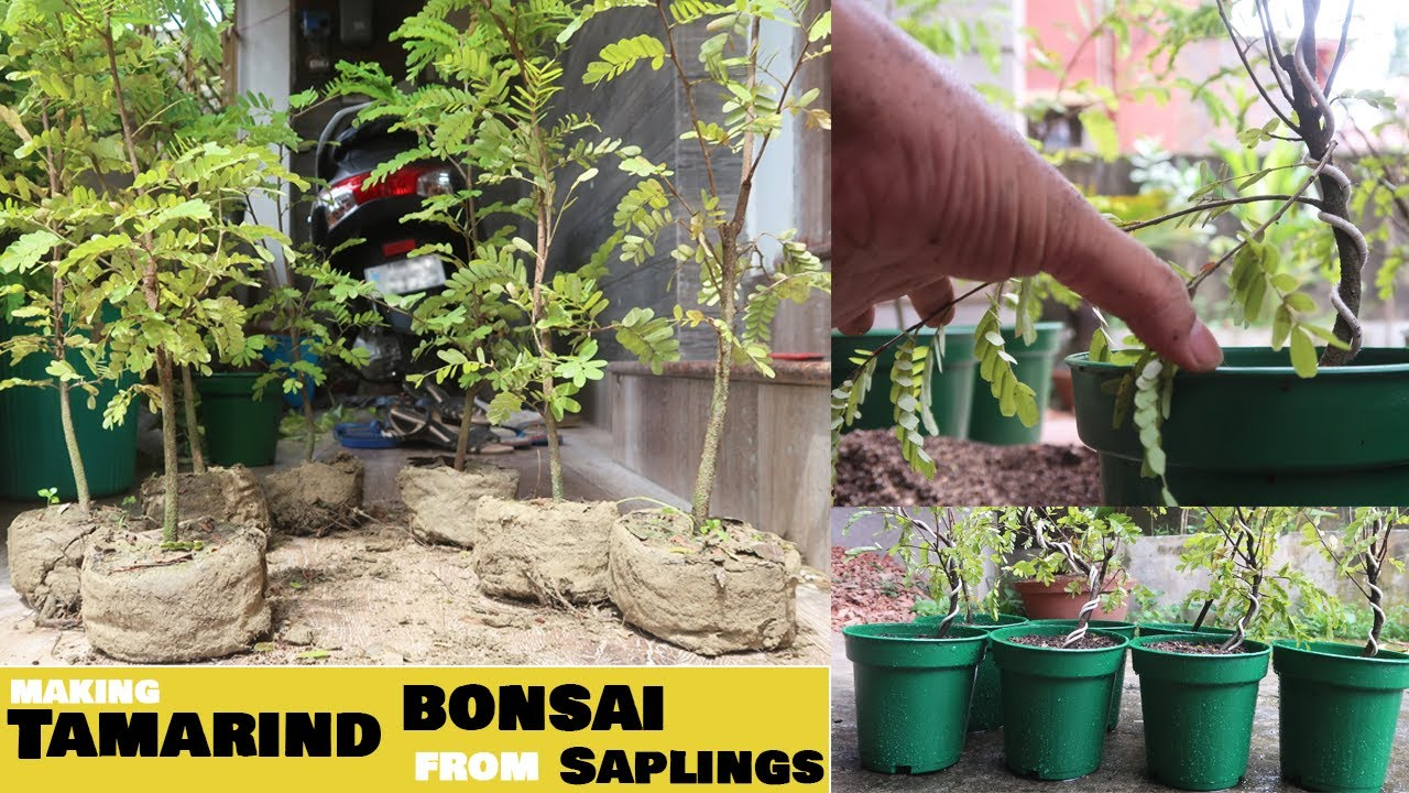 Download Bonsai Made Easy - How to Make a Tamarind Bonsai : Step by Step