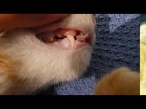 Зубы собаки. Сколько зубов у собаки? Молочные зубы у собак