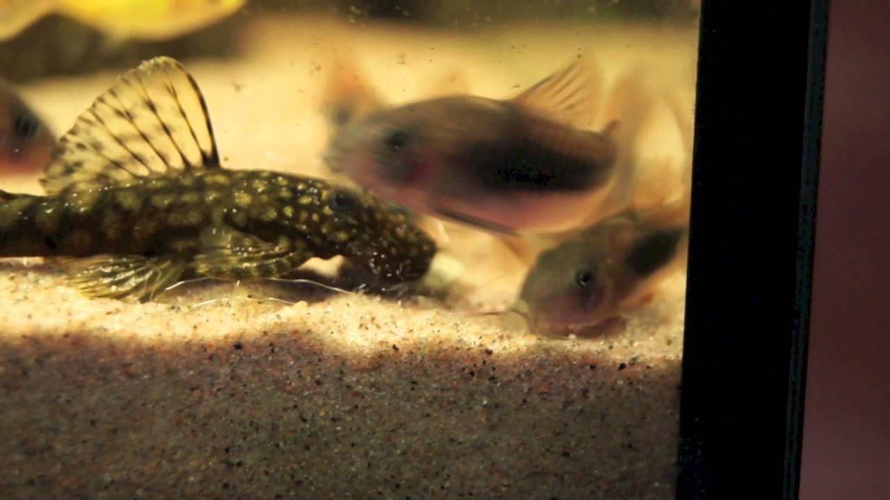 Bronze Corydoras Fish Info Aquatic World Info