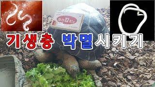 육지거북 구충제 먹이기(Feeding tortoise …