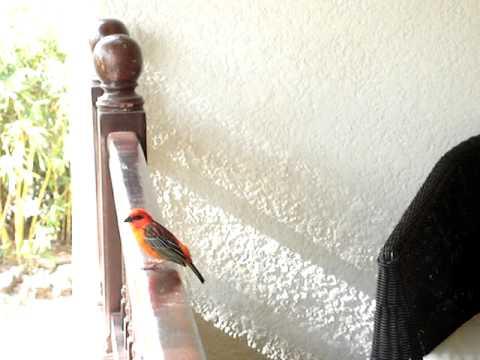 Chant d'oiseau: le Cardinal / Foudi Rouge / Scarlet taganer