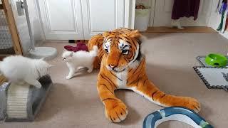 Birman Kittens Playtime