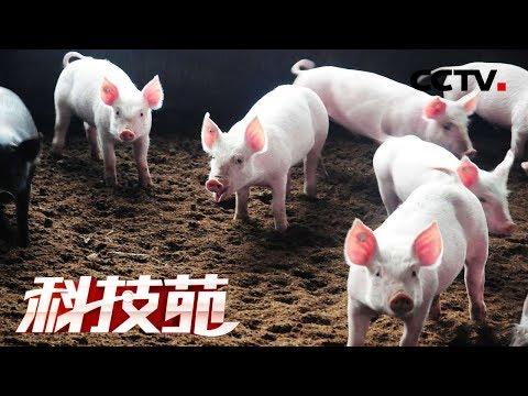 《科技苑》吃干榨净一种草 放胆养猪羊 20190318 | CCTV农业