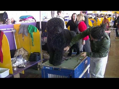 Portuguese Water Dog Westminster dog show 2017