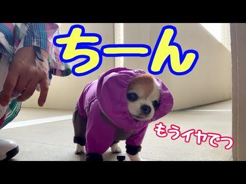 【大雨】チワワと楽しく雨の散歩のはずがドシャ降りで撃沈【チワワ】【かわいい犬】【chihuahua】【cute dog】【ペット動画】