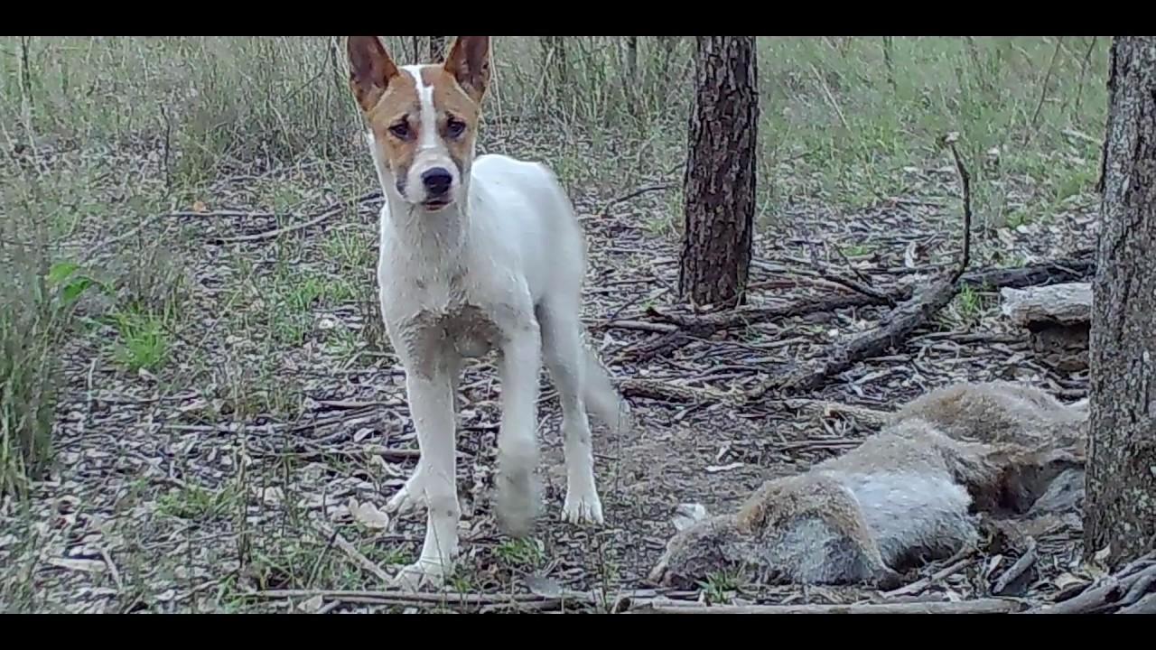 Anjing, Ancaman Terbesar Spesies Terancam Punah di Alam Liar
