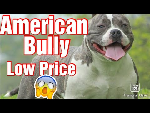 American Bully Adult Male For Sell At Reasonable Price Pocket