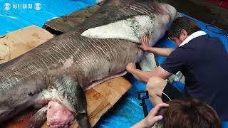 幻のサメ「メガマウス」 研究のため解体、剥製に