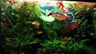 Нимфеи в моём аквариуме.