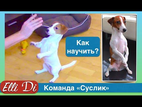 Команда суслик | зайка | служить. Дрессировка собак с Elli Di.
