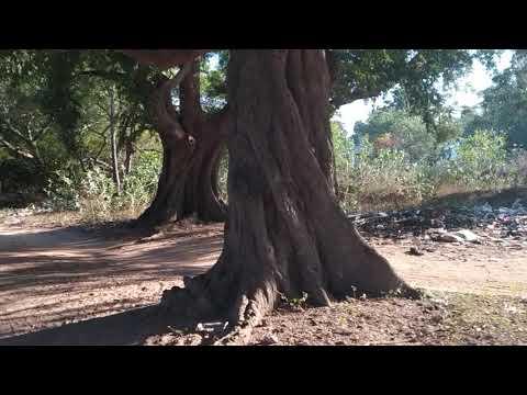 Вопрос: Какое дерево является национальным деревом Индии?