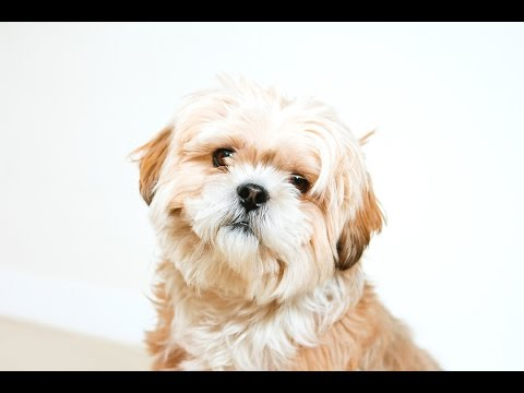Lhasa Apso Dog Begging for Attention