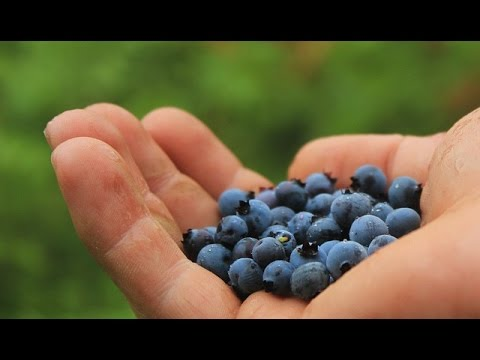 The health benefits of Superfood Wild Blueberries