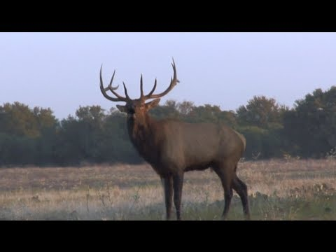 Elk Hunting: What to know before your first hunt - Hunting Tip