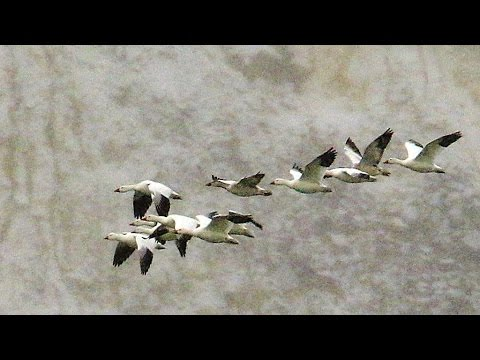 'Thousands' of geese die in toxic Montana pit mine