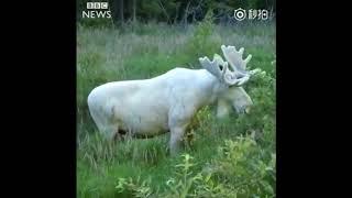 瑞典出现罕见的全白色驼鹿
