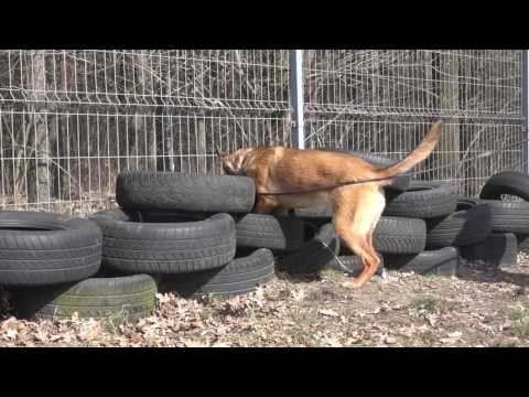 Jasna Belgian Malinois   Detection Outside and Inside