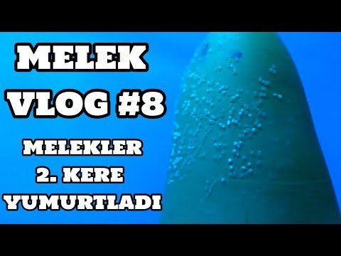 Melek Vlog #8 (Melekler İkinci Kere Yumurtladı) [29.07.2017]