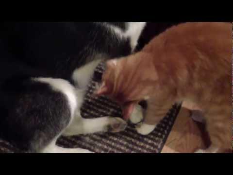 husky-groomed-by-cat