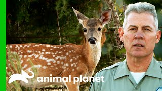 Anxious Trapped Deer Might Injure Itself | Lone Star Law
