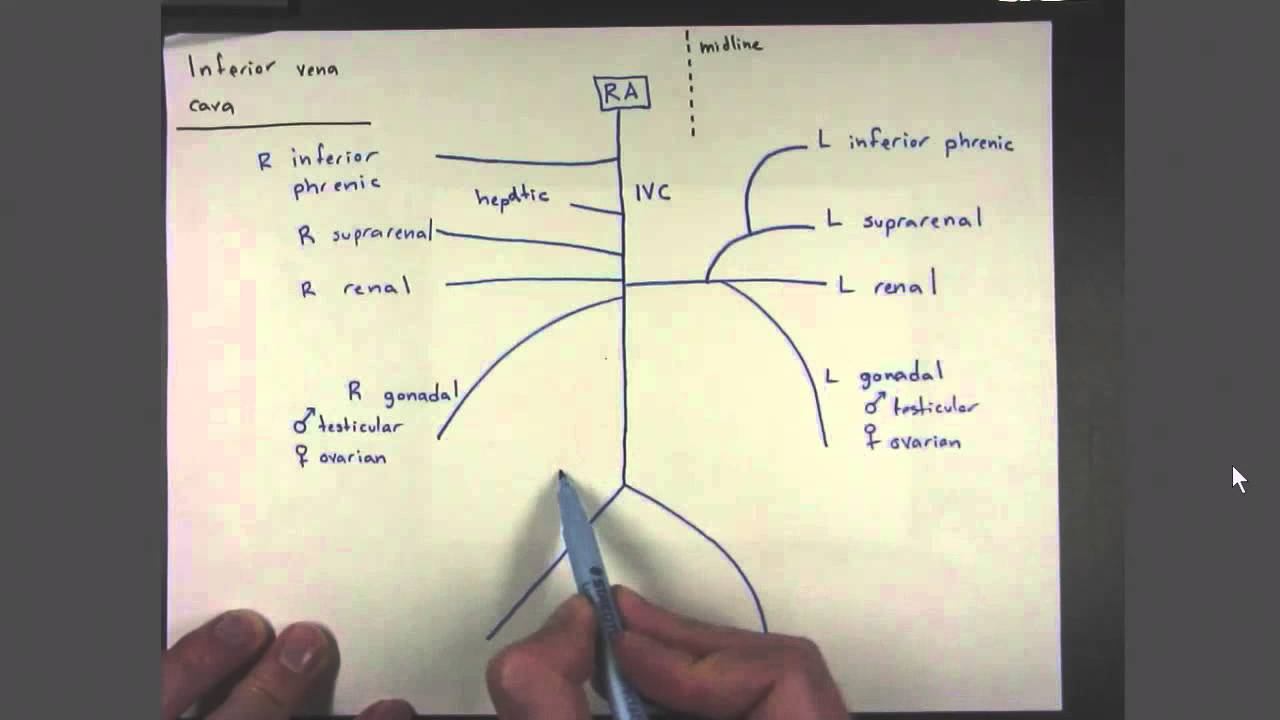 04 Veins of the Inferior Vena Cava - YouTube