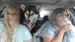 How To Travel With Your Alaskan Malamute!