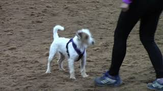 Parson russell terrier Darla agility training
