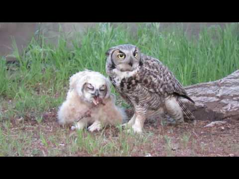 Baby Great Horned Owl, Feeding time with mom. Red Rock Nv.