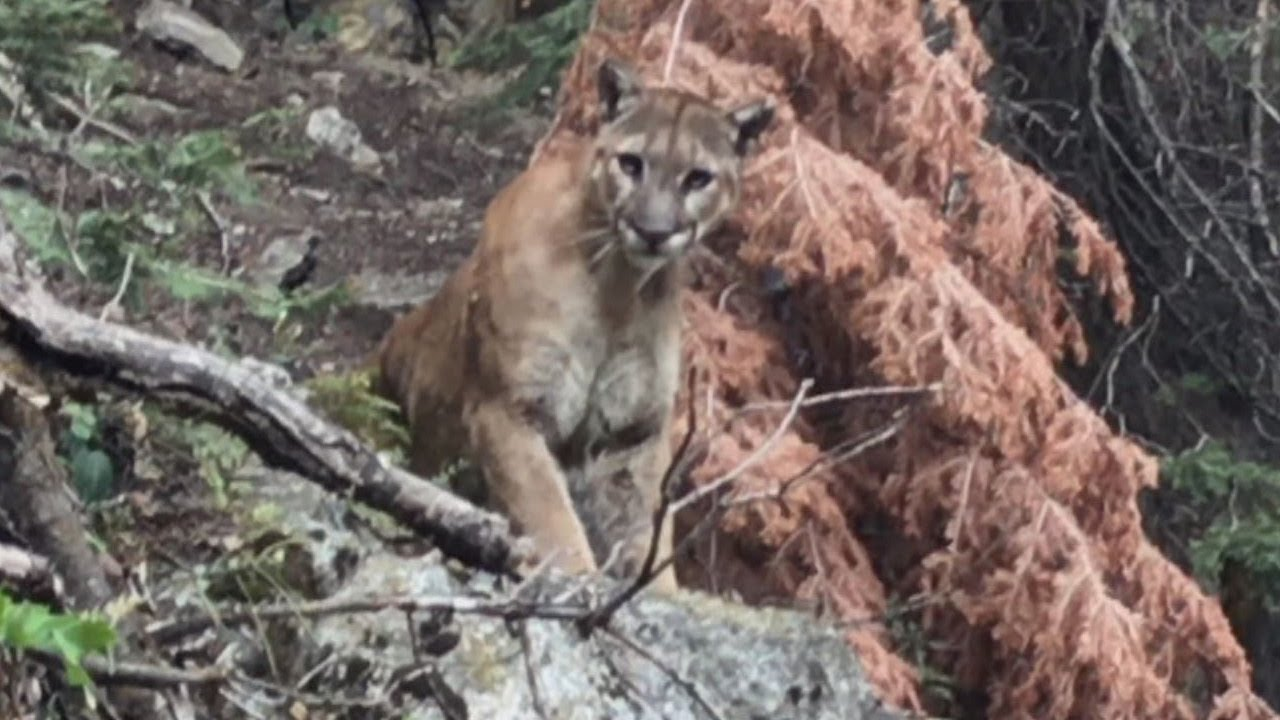 What To Do If You Re Ever Followed By A Mountain Lion