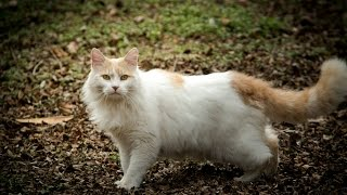 Турецкий Ван уход и содержание, Породы кошек