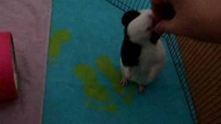 how to train your guinea pig to do tricks