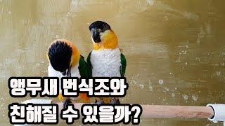 EP01.앵무새키우기 Qu0026A :: 번식조를 길들일 수 있을까?