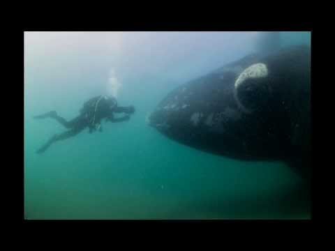 The Story: Divers Approached by Southern Right Whales