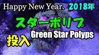 沖縄産のスターポリプ(ソフトコーラル)を投入です。(106) 2018/01/03 【Aquarium】