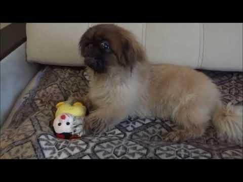 Пекинес собака видео новая игрушка Дендика Телков Сергей