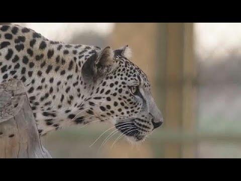 شاهد: ولادة شبل نمر عربي في السعودية تنعش الآمال ببقاء هذا الحيوان المهدد بالإنقراض…  - نشر قبل 2 ساعة