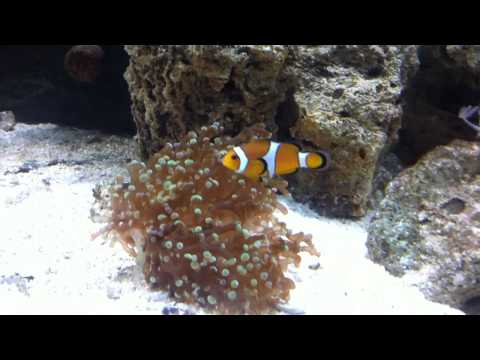 Clown Fish Hosting Frogspawn Coral