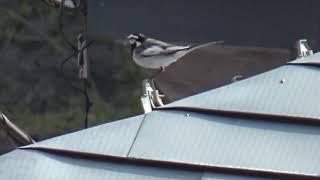 四万温泉街で見かける野鳥です。