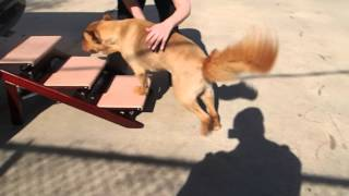 Golden Retriever Chow Chow Mix Walter Uses Dog Ramp  Stairs To Get Into Car After Swimming
