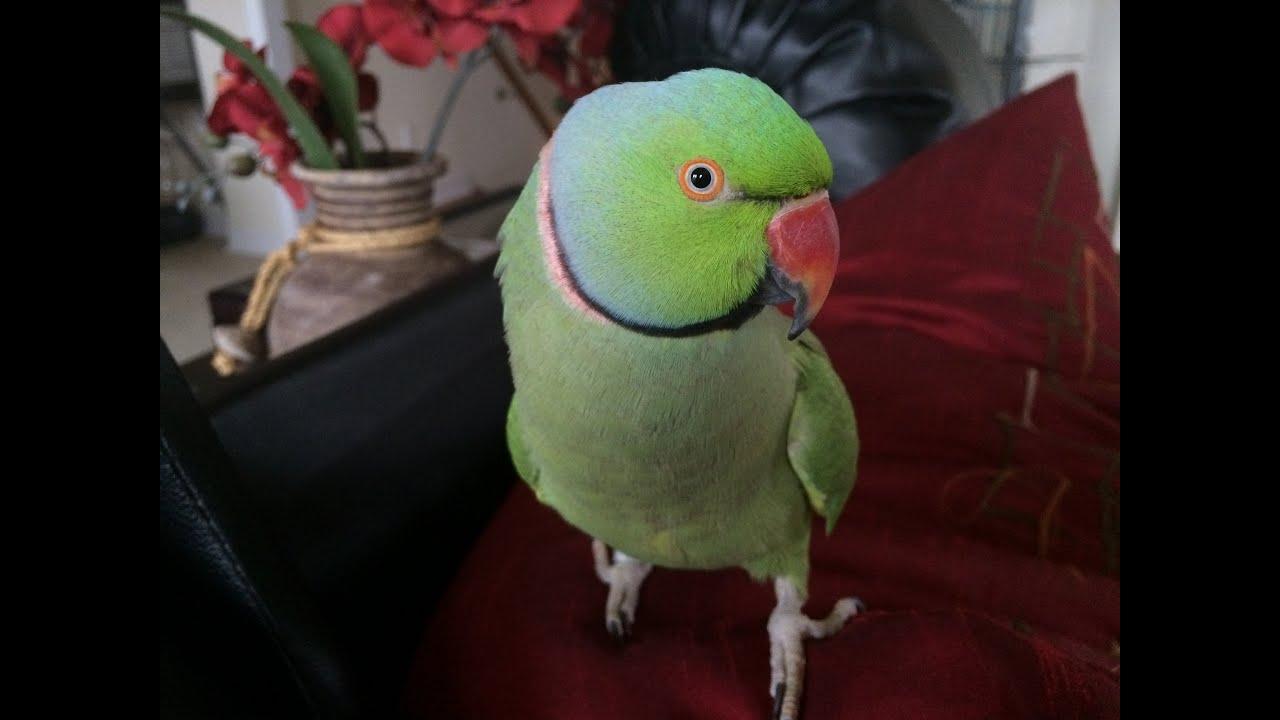 coco the talking indian ringneck parakeet (parrot) talking