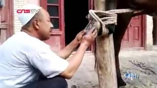 Как уйгуры подковывают лошадь
