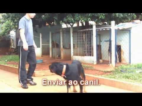 adestramento de cães - Veja como se comporta um Rottweiler depois de treinado