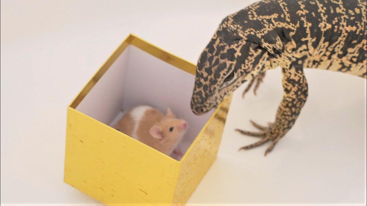 Tegu eats mouse in 4K60 (live feeding)